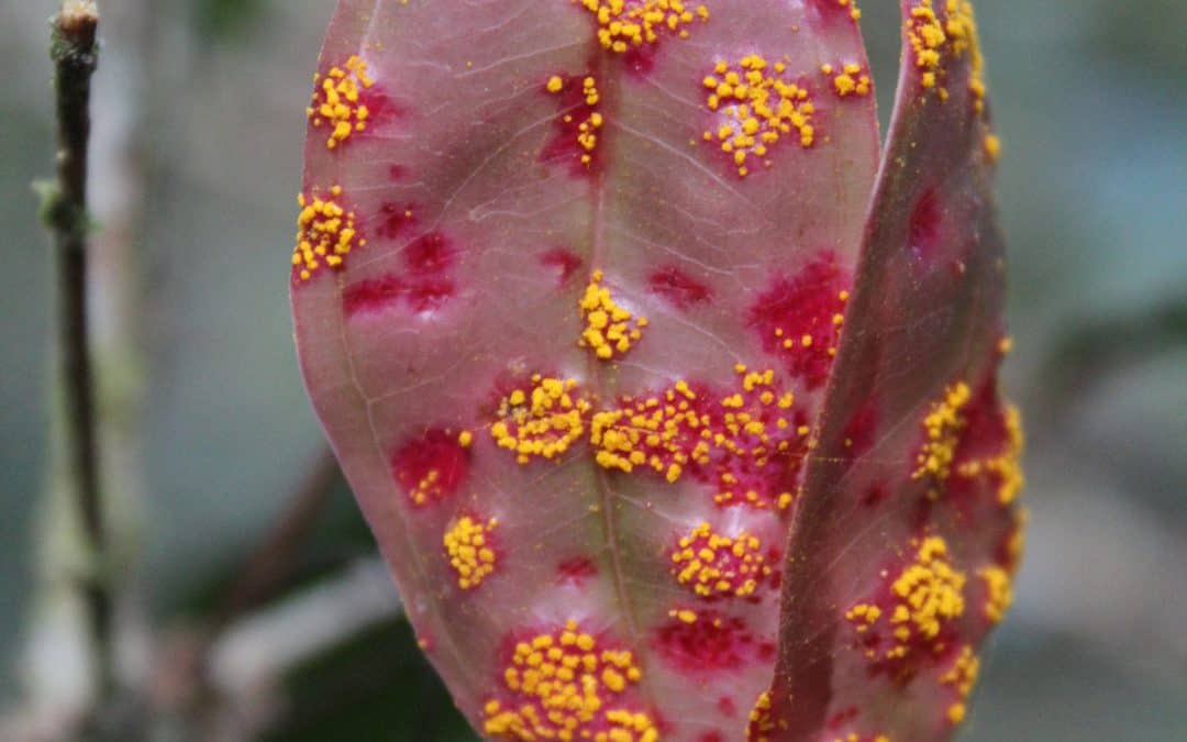 Invasive fungus myrtle rust is pushing Australia's native trees toward extinction
