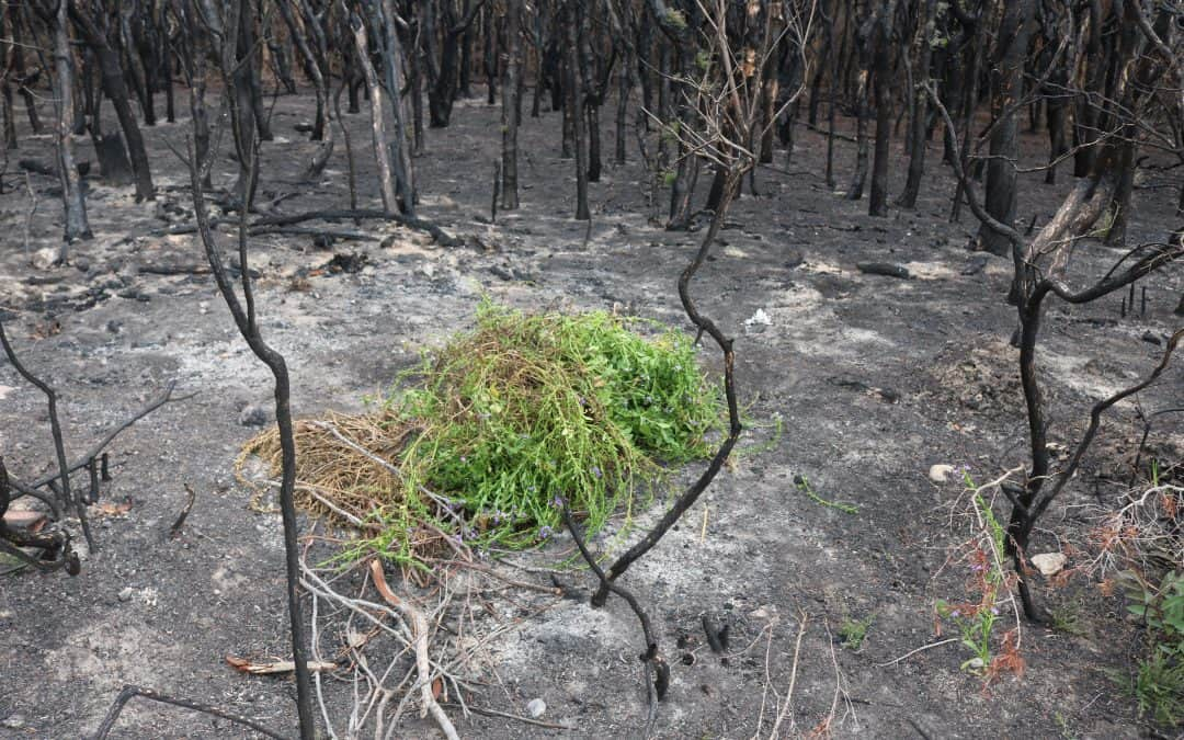 What we can do to help post-fire recovery of plants and ecological communities–Please share with your colleagues, neighbours and friends who may be in fire-affected areas