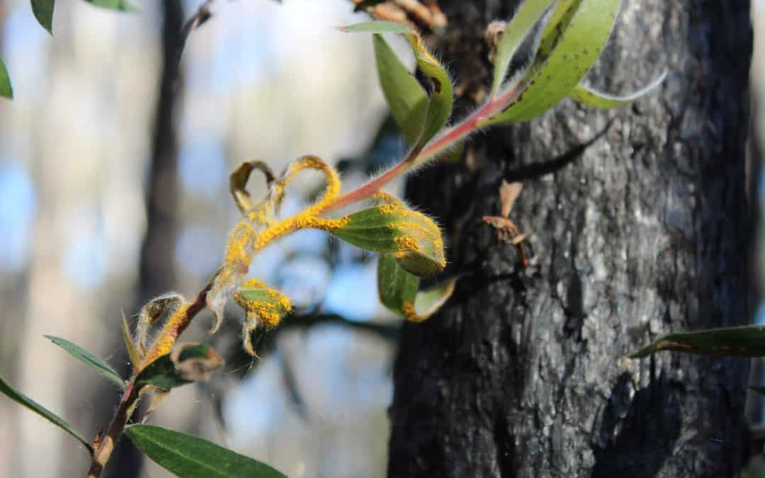 Myrtle Rust – national Statement of Concern now open for signatures